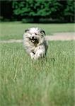 Pyrenean shepherd dog running in grass. Stock Photo - Premium Royalty-Free, Artist: Minden Pictures, Code: 696-03398347