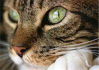 Cat's face, close up. Stock Photo - Premium Royalty-Freenull, Code: 696-03398384