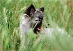Husky puppy in grass. Stock Photo - Premium Royalty-Free, Artist: Minden Pictures, Code: 696-03398399