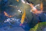 Carp in Pond Stock Photo - Premium Rights-Managed, Artist: Ron Stroud, Code: 700-03403893