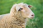 Close-up of Sheep, Bergheim, Bavaria, Germany Stock Photo - Premium Royalty-Free, Artist: Elke Esser, Code: 600-03404351