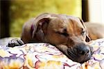 Sleeping Dog Stock Photo - Premium Rights-Managed, Artist: Jeremy Maude, Code: 700-03404604