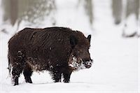 Wild Boar Stock Photo - Premium Rights-Managednull, Code: 700-03404703