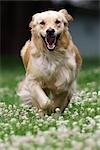 Golden Retriever Running through Clover, Peterborough, Ontario, Canada Stock Photo - Premium Rights-Managed, Artist: Rommel, Code: 700-03406452