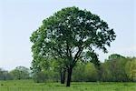 Cottonwood Tree in Spring, Dallas, Texas, USA Stock Photo - Premium Rights-Managed, Artist: Jeremy Woodhouse, Code: 700-03406622