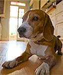 Portrait of a beagle Stock Photo - Premium Rights-Managed, Artist: ableimages, Code: 822-03406761