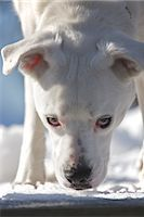 Close-up of Dog Stock Photo - Premium Royalty-Freenull, Code: 600-03407223