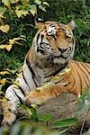 Portrait of Siberian Tiger, Nuremburg, Bavaria, Germany Stock Photo - Premium Rights-Managed, Artist: Raimund Linke, Code: 700-03408013
