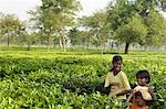 India Young girl helping to pick tea in the tea plantations of Darjeeling Stock Photo - Premium Rights-Managed, Artist: AWL Images, Code: 862-03437107