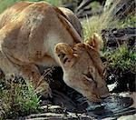 A lioness drinking from a muddy pool. Stock Photo - Premium Rights-Managed, Artist: AWL Images, Code: 862-03437173