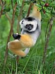 A Diademed Sifaka (Propithecus diadema) eating wild guava fruit in Matandia National Park,eastern Madagascar. Stock Photo - Premium Rights-Managed, Artist: AWL Images, Code: 862-03437217