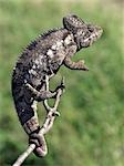 A chameleon. Stock Photo - Premium Rights-Managed, Artist: AWL Images, Code: 862-03437218