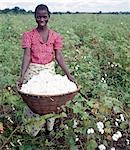 A woman picking cotton in the low-lying Shire Valley of southern Malawi. . Stock Photo - Premium Rights-Managed, Artist: AWL Images, Code: 862-03437269