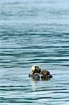 USA,Alaska,Copper River Delta. Sea Otter (Enhydra lutris) in the Orca Inlet near Cordova. Stock Photo - Premium Rights-Managed, Artist: AWL Images, Code: 862-03437548