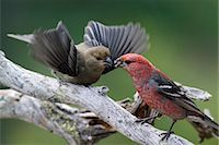 USA,Alaska. A male Pine Grosbeak (Pinicola enucleator) feeds an immature offspring in the Alaska range. Stock Photo - Premium Rights-Managednull, Code: 862-03437550