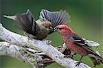 USA,Alaska. A male Pine Grosbeak (Pinicola enucleator) feeds an immature offspring in the Alaska range. Stock Photo - Premium Rights-Managed, Artist: AWL Images, Code: 862-03437550
