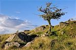 Wales,Conwy,Pentre Foilas. Hawthorn tree on the side of a Welsh mountain at Gilar farm. Stock Photo - Premium Rights-Managed, Artist: AWL Images, Code: 862-03437779