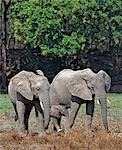 Two female elephants a mother and probably a grown daughter - feed as they protect a newborn offspring in Zambia's South Luangwa's National Park. Elephant herds are based on a matriarchal clan society.This park has one of the largest concentrations of elephants left in Africa.. Stock Photo - Premium Rights-Managed, Artist: AWL Images, Code: 862-03438071