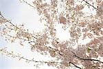 Close-up of Cherry Blossoms on Cherry Tree Stock Photo - Premium Rights-Managed, Artist: Johann Wall, Code: 700-03440035