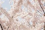 Close-up of Cherry Blossoms on Cherry Tree Stock Photo - Premium Rights-Managed, Artist: Johann Wall, Code: 700-03440036
