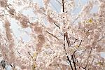 Close-up of Cherry Blossoms on Cherry Tree Stock Photo - Premium Rights-Managed, Artist: Johann Wall, Code: 700-03440037