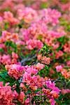 Bougainvillea, Bora Bora, Tahiti, French Polynesia Stock Photo - Premium Rights-Managed, Artist: Jeremy Woodhouse, Code: 700-03440201