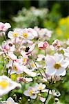 Japanese anemone flowers (Anemone hupehensis) Stock Photo - Premium Royalty-Free, Artist: Cusp and Flirt, Code: 633-03444835