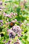 Peacock butterfly (Inachis io) alighting on valerian flower (Valeriana officinalis) Stock Photo - Premium Royalty-Free, Artist: Minden Pictures, Code: 633-03444863