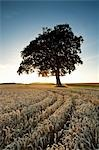Beech Tree in Wheat Field at Sunset Stock Photo - Premium Rights-Managed, Artist: JW, Code: 700-03445415