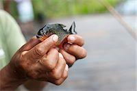 piranha fish - Man Holding Red-Bellied Piranha Stock Photo - Premium Rights-Managednull, Code: 700-03445679
