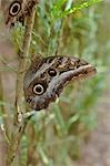 Owl Butterfly Stock Photo - Premium Rights-Managed, Artist: Mark Downey, Code: 700-03445689