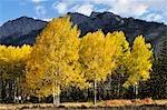 Aspen Trees in Autumn, Banff National Park, Alberta, Canada