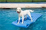 Goldendoodle Standing on Raft in Swimming Pool Stock Photo - Premium Rights-Managed, Artist: John Ferrentino, Code: 700-03451285