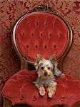 Yorkshire Terrier Stock Photo - Premium Rights-Managed, Artist: Nora Good, Code: 700-03451405