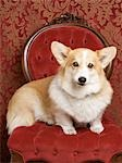 Corgi Stock Photo - Premium Rights-Managed, Artist: Nora Good, Code: 700-03451406
