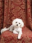 Teacup Maltese Stock Photo - Premium Rights-Managed, Artist: Nora Good, Code: 700-03451407