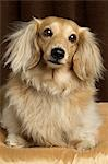 Long Haired Dachshund Stock Photo - Premium Rights-Managed, Artist: Nora Good, Code: 700-03451408
