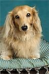 Long Haired Dachshund Stock Photo - Premium Rights-Managed, Artist: Nora Good, Code: 700-03451409