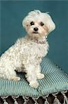 Teacup Maltese Stock Photo - Premium Rights-Managed, Artist: Nora Good, Code: 700-03451410
