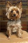 Yorkshire Terrier Stock Photo - Premium Rights-Managed, Artist: Nora Good, Code: 700-03451411