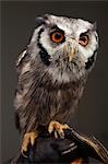 Owl Stock Photo - Premium Rights-Managed, Artist: Michael Clement, Code: 700-03451645