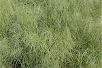 Timothy grass Stock Photo - Premium Royalty-Free, Artist: Aurora Photos            , Code: 653-03459322