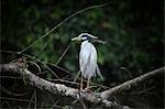Yellow-Crowned Night Heron, Tortuguero, Limon Province, Costa Rica Stock Photo - Premium Royalty-Free, Artist: John Lee, Code: 600-03460264
