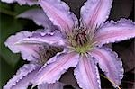 Flower Details - Clematis. Stock Photo - Premium Rights-Managed, Artist: Arcaid, Code: 845-03463326