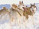 Huskies in winter Stock Photo - Premium Royalty-Free, Artist: AlaskaStock, Code: 649-03465378