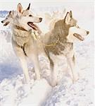 Siberian huskies Stock Photo - Premium Royalty-Free, Artist: AlaskaStock, Code: 649-03465379