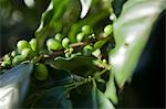 Coffee Beans, Boquete, Chiriqui, Panama Stock Photo - Premium Rights-Managed, Artist: John Lee, Code: 700-03466356