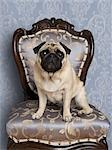 Portrait of Pug Stock Photo - Premium Royalty-Free, Artist: Nora Good, Code: 600-03466568