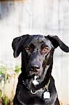 Portrait of Young Female Black Lab Mix Stock Photo - Premium Rights-Managed, Artist: Mick Ritzel, Code: 700-03466524