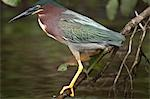 Green-Backed Heron, Tortuguero, Costa Rica Stock Photo - Premium Royalty-Free, Artist: John Lee, Code: 600-03466796